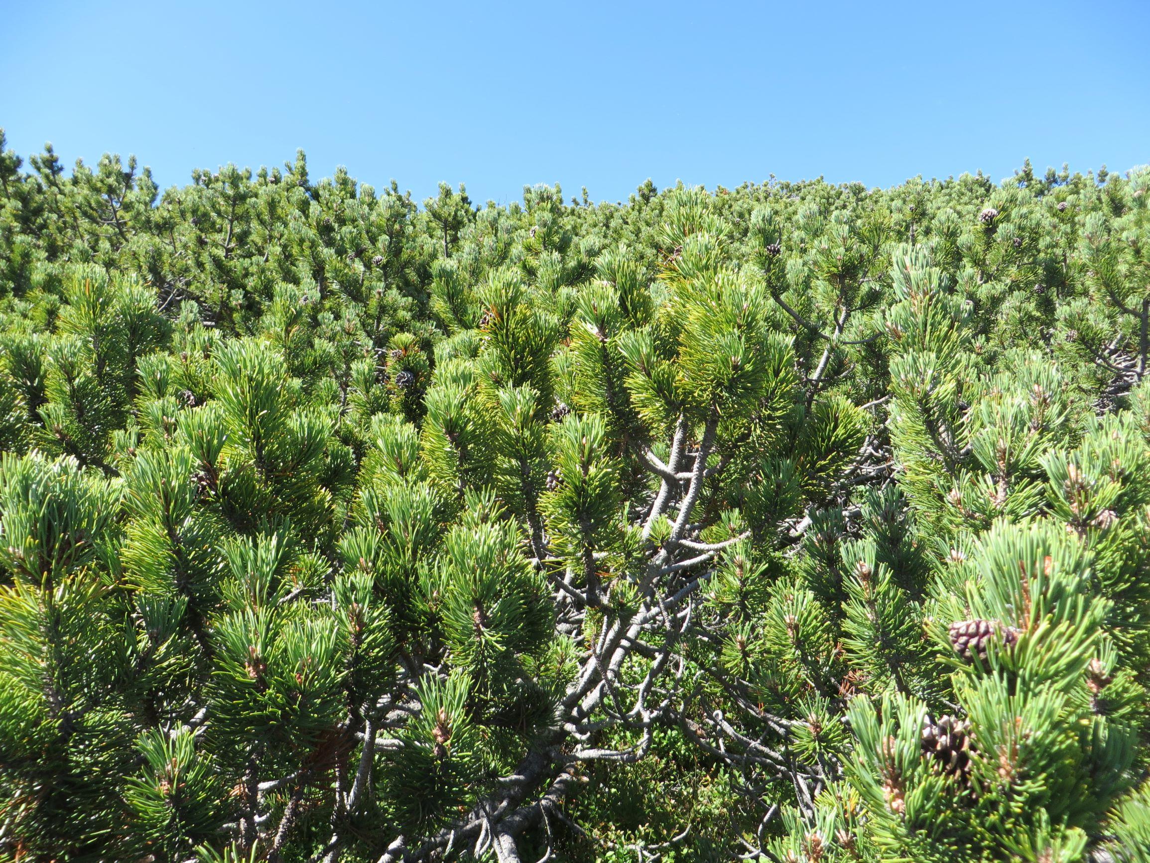 Pine shrubs in Rila