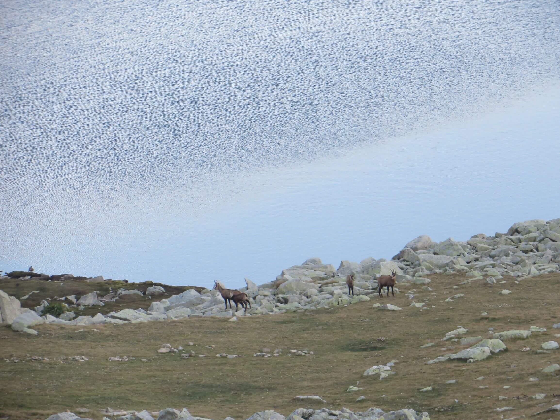 Goats by Tevno Lake